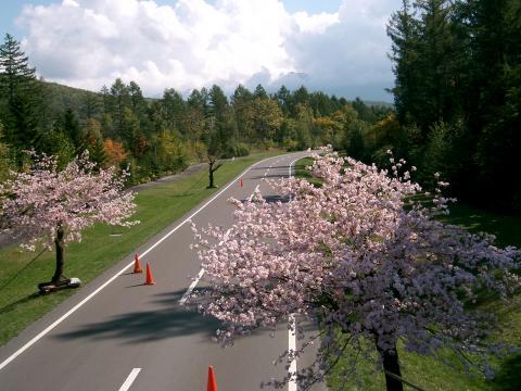 季節はずれの桜 2