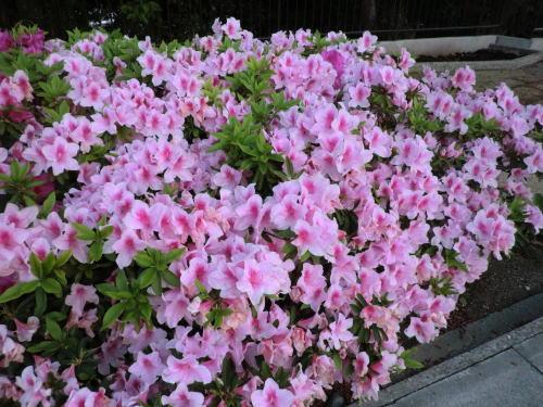 flower20120506_1