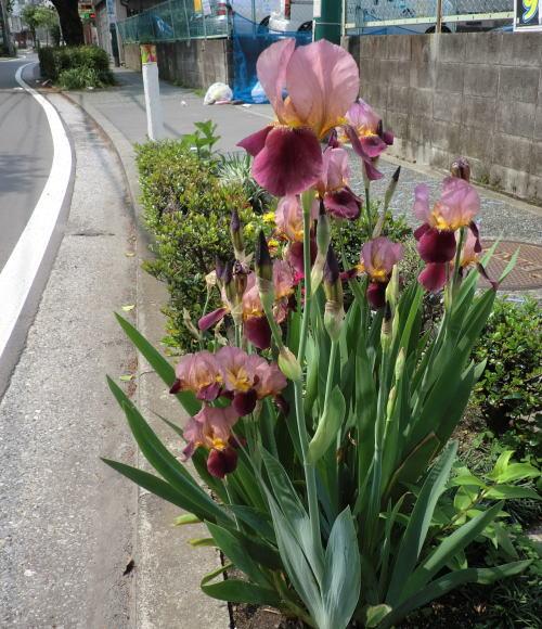 flower20120506_3