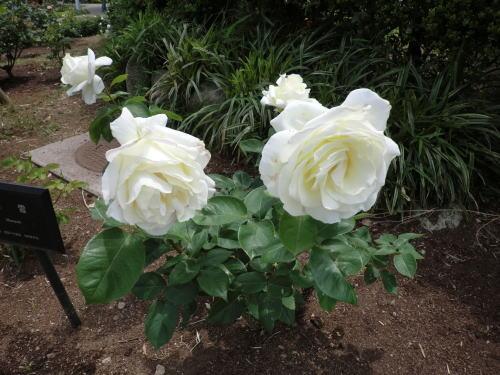 minatopark_rose_4