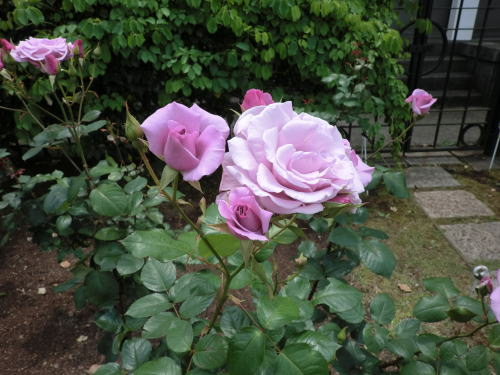 minatopark_rose_5