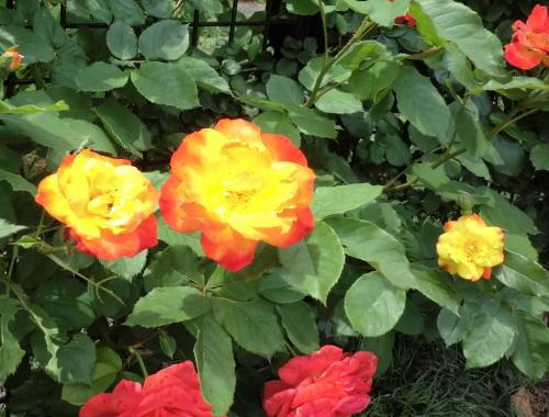 minatopark_rose_6