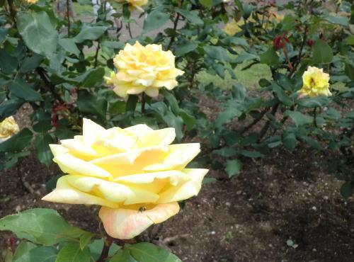minatopark_rose_7