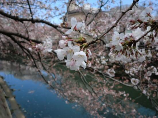 oookasakura_20120407_3