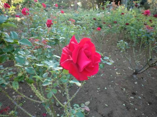 rose_20121021_1