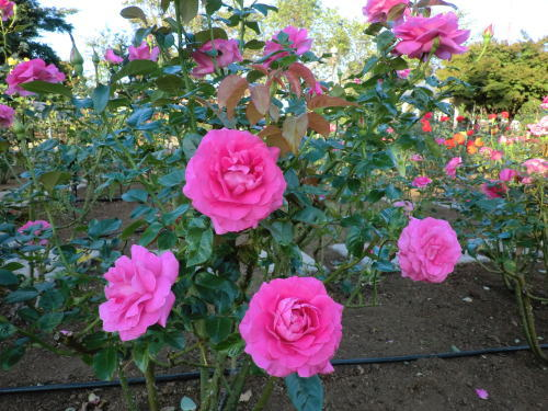 rose_20121021_2