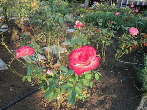 rose_20121021_3