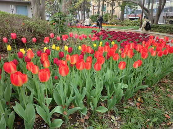 y_tulip_2