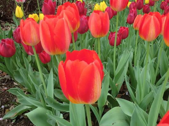 y_tulip_3