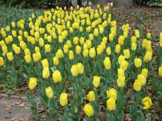 y_tulip_4