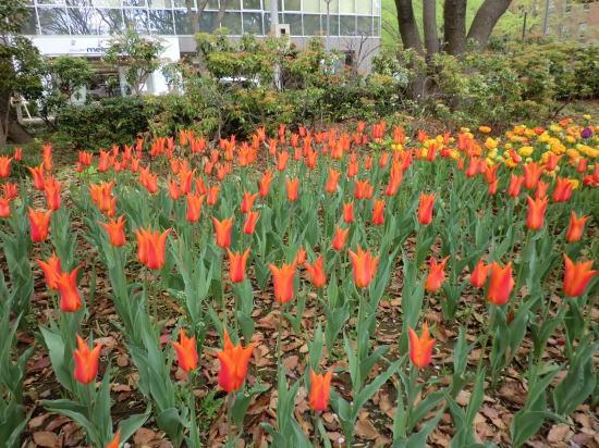y_tulip_5