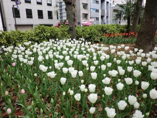 y_tulip_6