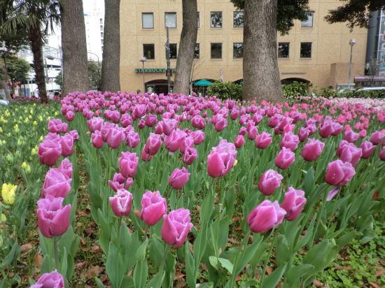 y_tulip_7
