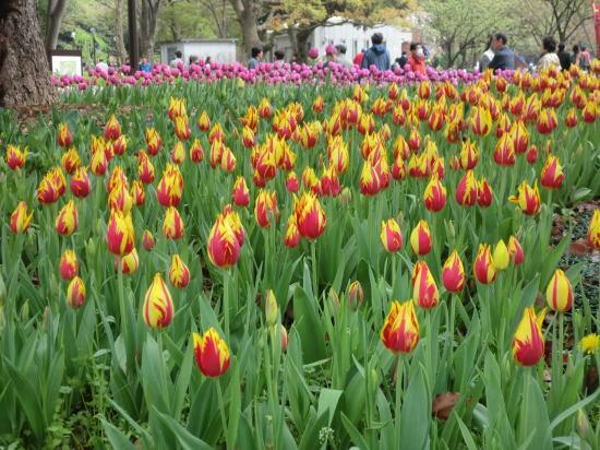 y_tulip_8