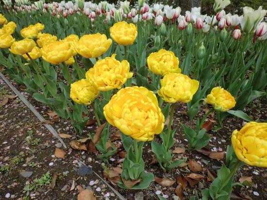 y_tulip_9