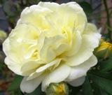 黄バラ201110