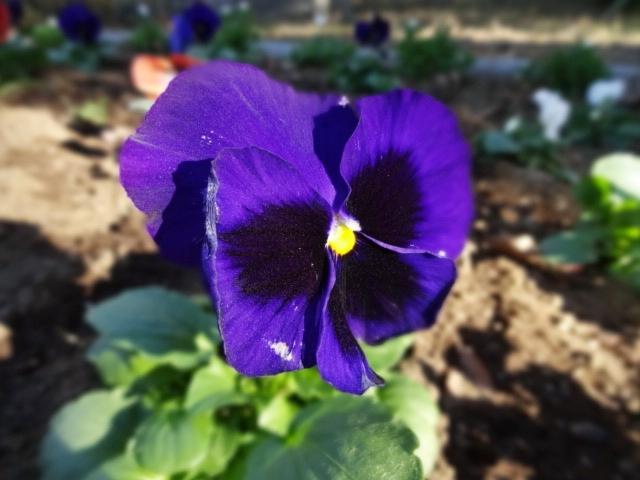 パンジー紫_230131119