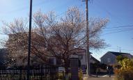 ぷにぷに四季桜