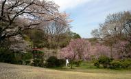 森林公園入り口の桜