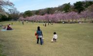 芝生広場と枝垂桜