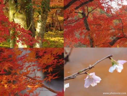 1126_17岩屋堂の桜