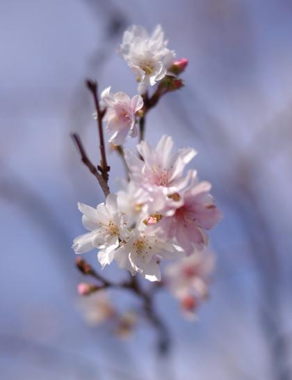 1204_2十月桜