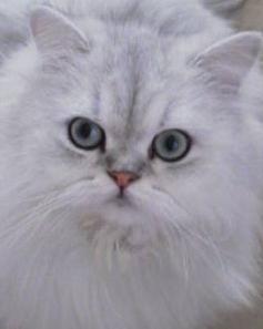 le chat blanc  s