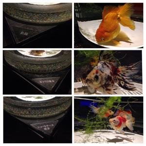 二条城金魚2