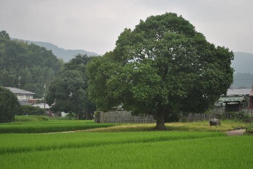 川原寺の大きな木