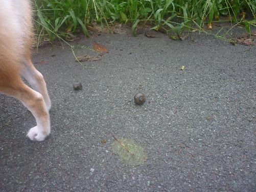 なぜか、タニシさんの殻がいっぱい?