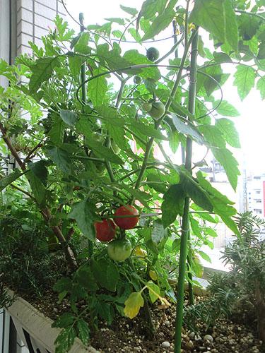 トマトが赤くなってきたヨ