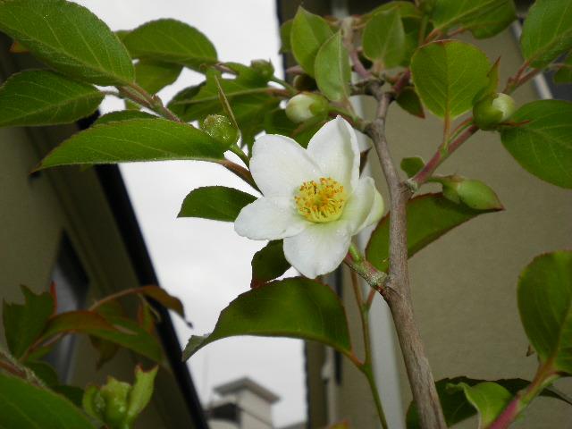 ヒメシャラの花