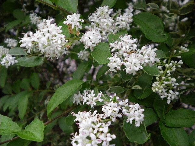 プリベットシルバーの花