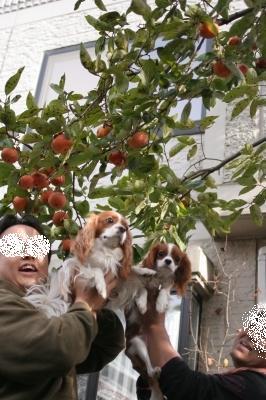 レッツ柿狩り!