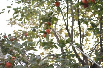 大量の柿をゲットーーー!