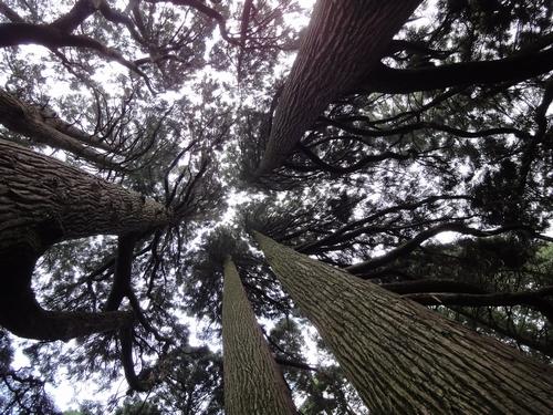 220730 高森殿の杉6