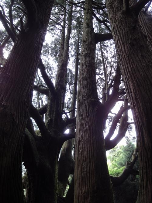 220730 高森殿の杉5