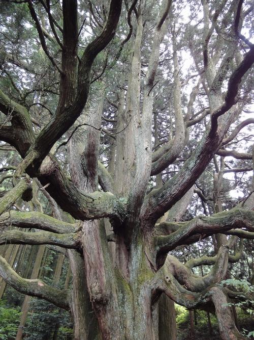 220730 高森殿の杉4
