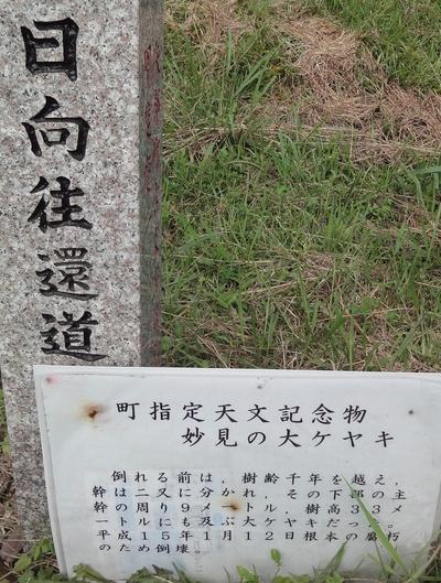 220904 妙見の大ケヤキ3