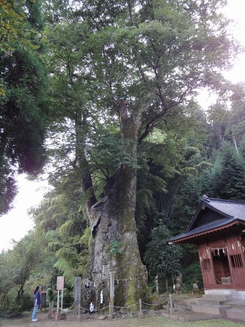 220920 竹の熊大ケヤキ7