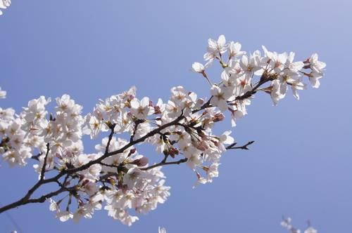 240331 おおづ桜まつり5