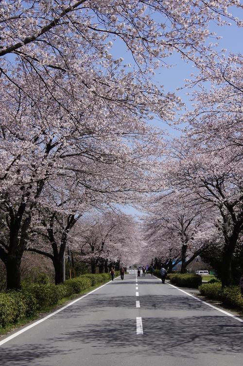 240331 おおづ桜まつり3