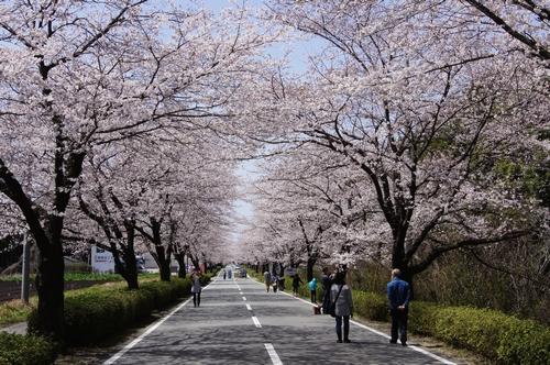 240331 おおづ桜まつり4