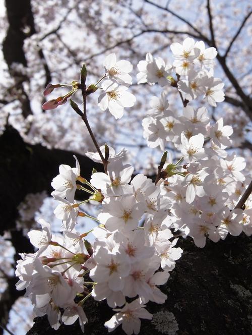 240331 おおづ桜まつり7