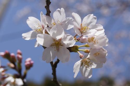 240331 おおづ桜まつり6