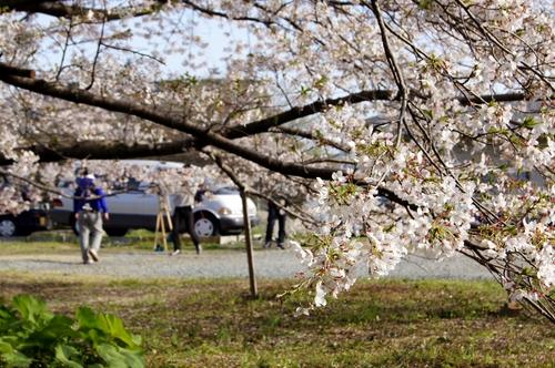 240406 神園の桜4