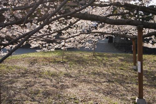 240406 神園の桜3-1