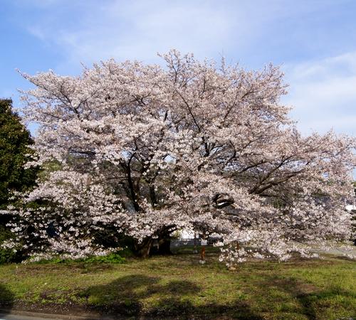 240406 神園の桜3