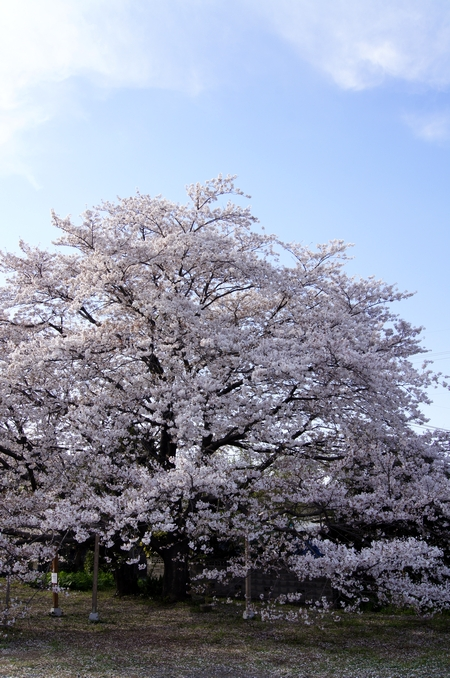 240406 神園の桜2