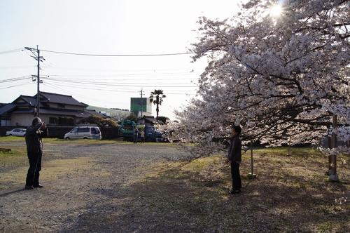 240406 神園の桜10
